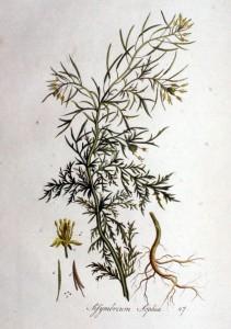 Sophiekruid (Sisymbrium sophia)
