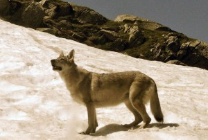 De wolf in ons...