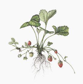 Aardbeienplant met rizomatisch wortelstelsel